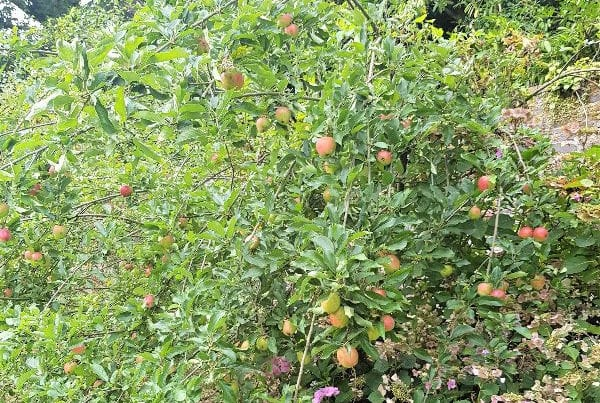 Apples in the walled garden at Trudder Lodge, Wicklow
